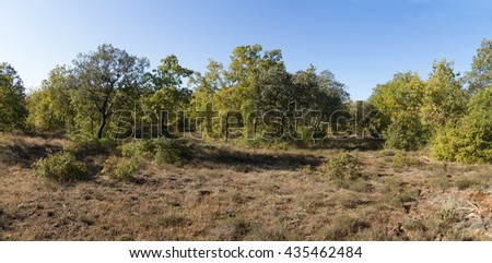 Panoramic view of Holm Oaks  forest in autumn  - stock photo