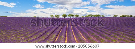 Panoramic view of Lavender field in Provence, near Gordes, France
