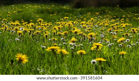 Panoramic view of meadow  in spring, and filled with fresh green grass and dandelion flowers Daisies, to  Backlight - stock photo