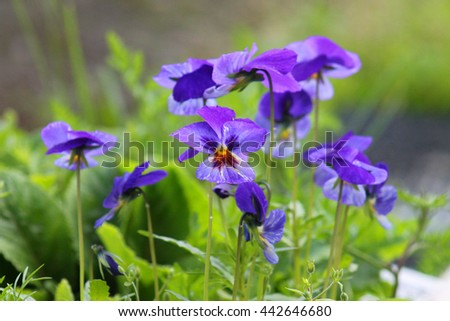 Pansies close up. Bright flower. Viola odorata (Sweet Violet, English Violet, Common Violet, or Garden Violet) blooming in spring close-up. - stock photo