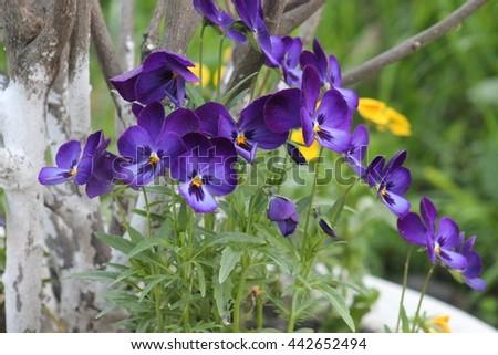 Pansies close up. Viola odorata (Sweet Violet, English Violet, Common Violet, or Garden Violet) blooming in spring close-up. - stock photo