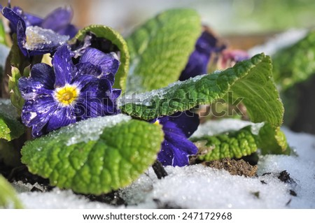 pansies covered with frost in garden  - stock photo