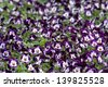 Pansies flower pots in a plant nursery - stock photo