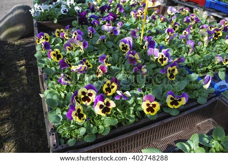Pansies flowers stacked on pallets. Preparations for the spring planting.