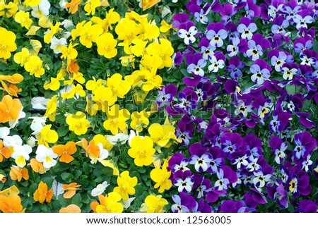 Pansies for sale in a flower nursery taken between two different colored rows