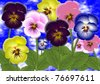 pansy flowers in five different colors with leaves and blue sky in the background / pansy flowers - stock photo