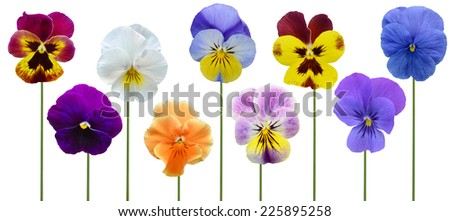 Pansy flowers on white background - stock photo