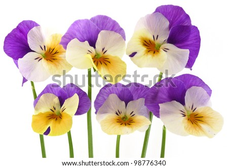 pansy flowers on white background close up - stock photo