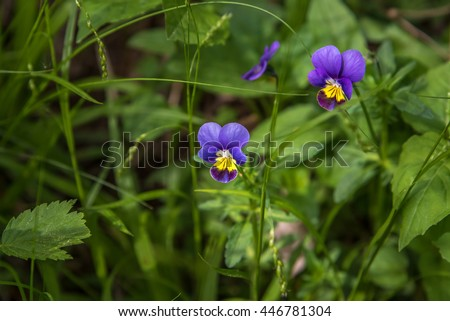 Pansy flowers (Viola tricolor) in Ontario forest - stock photo