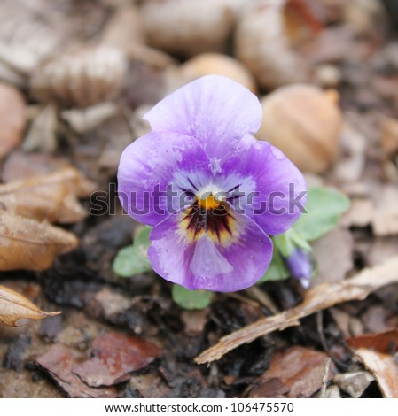 Pansy in mulch - stock photo