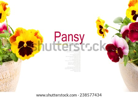 Pansy  or viola flowers in a pot isolated on white background  - stock photo