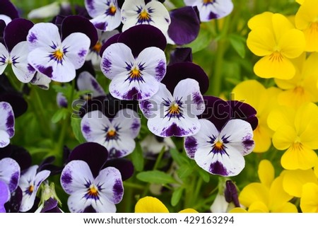 Pansy. Pansy flowers in garden. Pansy. Mixed pansies in garden. Pansy. Pansy background. - stock photo