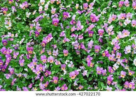 Pansy plants cultivated as garden flowers. Viola pansies in garden. Beauty nature. Flower bed. Natural background. - stock photo