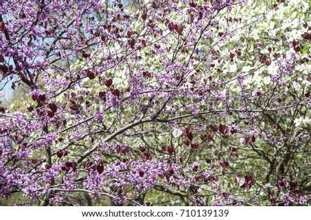 Pansy redbud tree bloom close pink stock photo royalty free pansy redbud tree in bloom close up with pink flowers and red heart shaped leaves mightylinksfo
