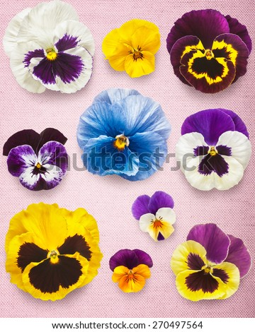Pansy spring flowers. Viola tricolor heads collection on pink canvas background. Mothers day concept - stock photo