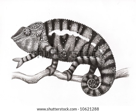 Panther chameleon drawing in pen and ink by scientific illustrator, Carolyn McFann. - stock photo