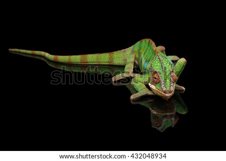 Panther chameleon resting on Black Mirror with tail , Isolated Background