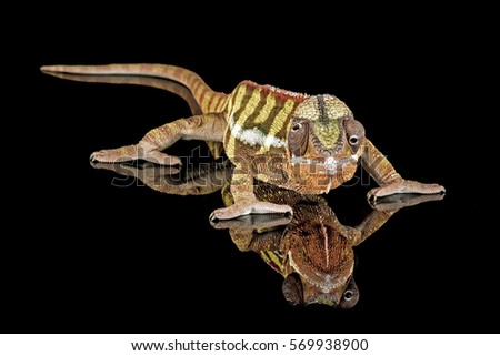 Panther Chameleon with black reflection