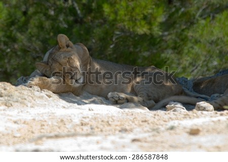 Panthera Leo wild dangerous lion in its habitat - stock photo