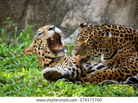 Panthera pardus - stock photo