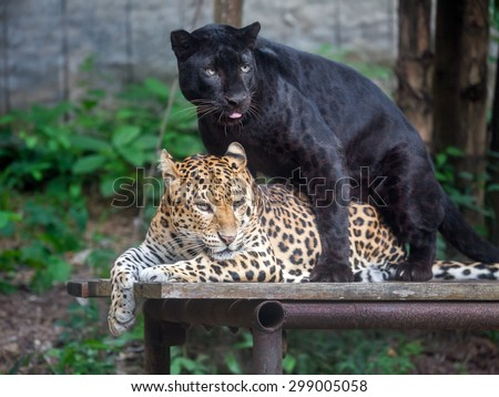 Panthera pardus and black panther with love - stock photo
