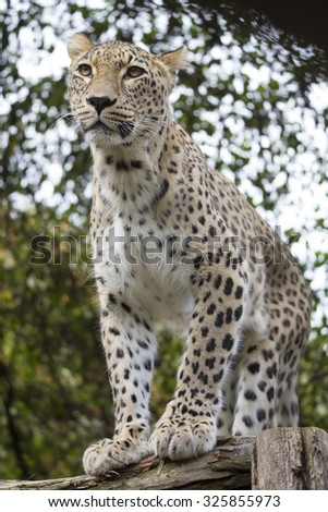 Panthera pardus saxicolor, Persian Leopard,watching nearby