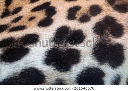 Panthera pardus skin - stock photo