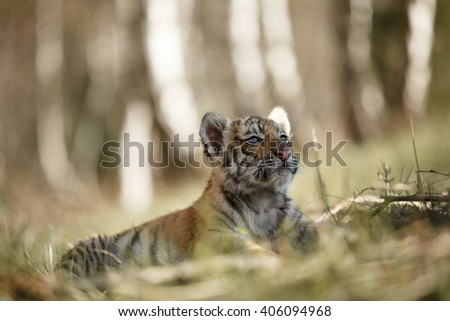 Panthera tigris altaica. Cute siberian tiger cub lying on grass. - stock photo