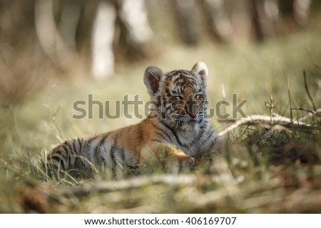 Panthera tigris altaica. Cute siberian tiger cub lying on grass and sleeping. Tired tiger. Blurred trees background.