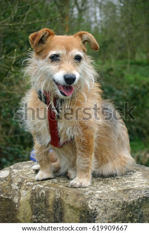 Panting cute brown Jack Russell cross Yorkshire terrier pet mongrel dog sitting on a large stone in woodland. Looking forwards. Ears erect and listening. Wearing red harness.