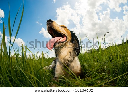 Panting dog resting in the field