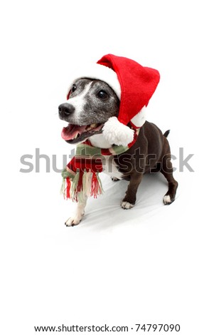 Panting Staffordshire Terrier cross breed wearing Christmas hat and scarf - stock photo