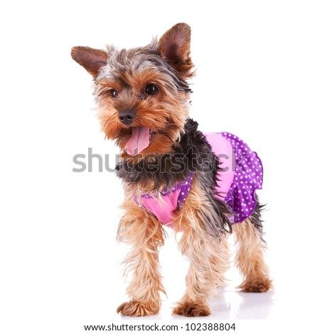 panting yorkshire puppy dog standing and looking to a side on white background - stock photo
