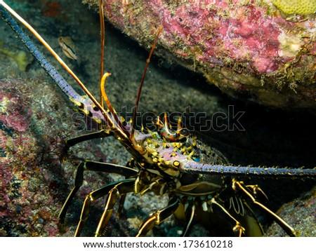Panulirus regius (Green lobster) - stock photo