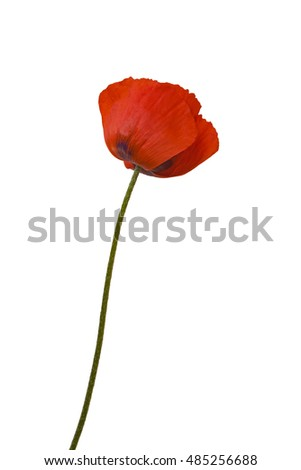 Papaver orientale (Oriental poppy) is a perennial flowering plant native to the Caucasus, northeastern Turkey, and northern Iran isolated over white background.