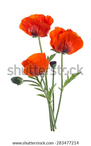 Papaver orientale (Oriental poppy) . isolated - stock photo