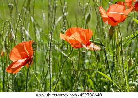 Papaver rhoeas, common poppy, corn poppy, corn rose, field poppy, Flanders poppy, red poppy, red weed, coquelicot in bloom - stock photo