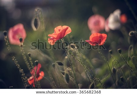 Papaver rhoeas (Corn poppy, Corn rose, Field poppy, Flanders poppy, Red poppy, Red weed, Coquelicot) in the summer meadow. Detail scene. Natural background. - stock photo