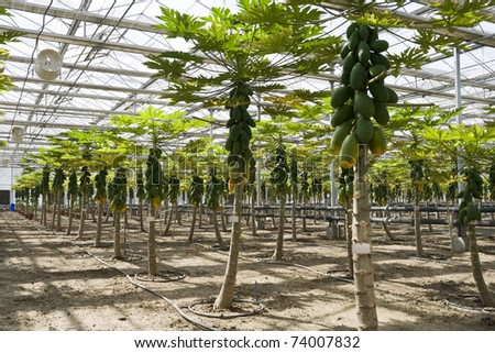 Papaya cultivation in greenhouses in beijing - stock photo
