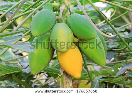 papaya fruit on the trees in a modern plantation, north china