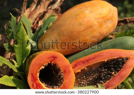 Papaya fruit popular in Thailand. Cooking can be many things such as a side dish or dessert. Fresh tropical papaya fruit isolated on a nature backgrounds.  - stock photo