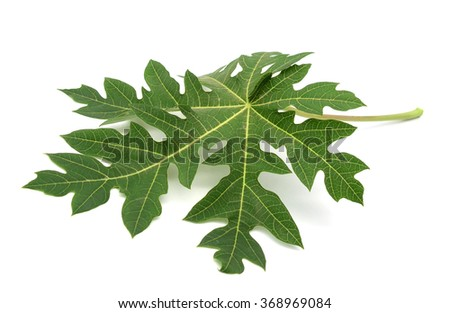 Papaya leaves color green isolated on white background - stock photo