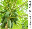 papaya on the papaya tree - stock photo