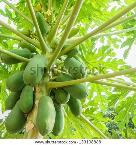 papaya on the papaya tree - stock photo