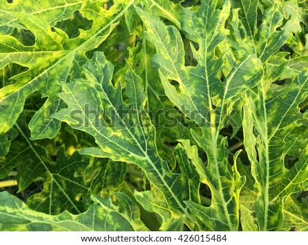 Papaya ringspot virus (PRV) on papaya leaves (Carica papaya) ; Tropical Plant disease - stock photo