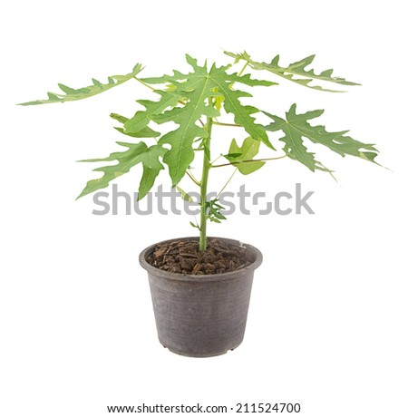 Papaya seedling in pot isolated on white background - stock photo