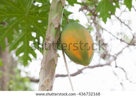 Papaya tree in the orchard of Thailand - stock photo