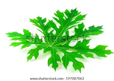 Papaya tree leaf on white background