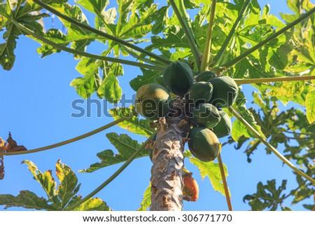 Papayas on the tree in Maui, Hawaii - stock photo