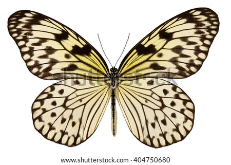 Paper kite or Rice paper butterfly (Idea leuconoe) isolated on white background - stock photo